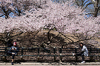 Focused on their cellphones under a canopy of blossoms in Central Park.