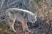 Wolf in Denali National Park