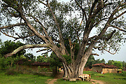A large Bodhi tree is standing among houses in Algunda village, pop. 1000, Giridih District, rural Jharkhand, India.
