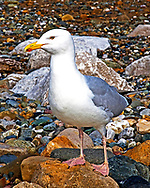 Heron Gull, this is a close up shot of a Heron Gull (sometime called Sea Gull) as it rests on this beach on the North Wales coastline.