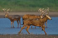 Père David's deer, or Milu, Elaphurus davidianus, stag running at shore of the Yangtze river in Hubei Tian'ezhou Milu National Nature Reserve, Shishou, Hubei, China
