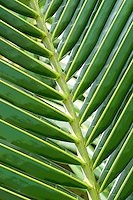Abstract detail shot of a coconut palm frond