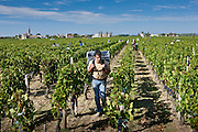 Vendangeur with Merlot grapes at vendange harvest in famous Chateau Petrus vineyard at Pomerol in Bordeaux, France
