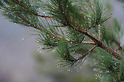 Corsican pine branch, raindrops<br /> *ADD TO CART FOR LICENSING OPTIONS*