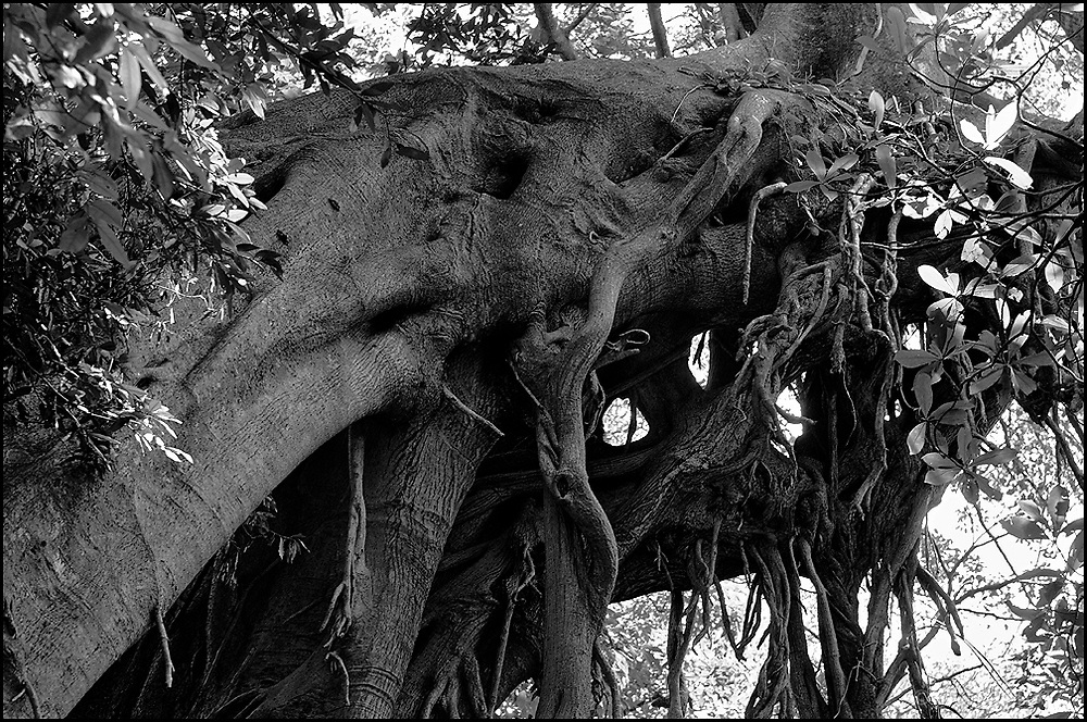 Tree in the north pacific province of Guanacaste, Costa Rica