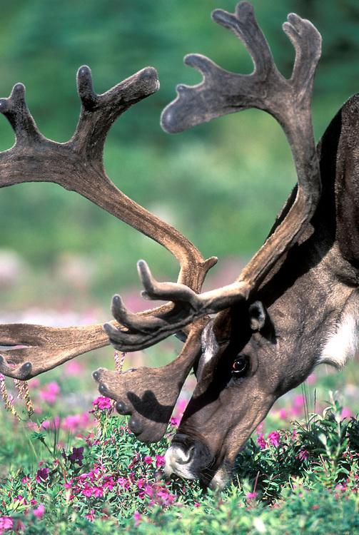 USA, Alaska, Denali National Park, Caribou (Rangifer tarandus) feeds in fireweed along Savage River's braided channels