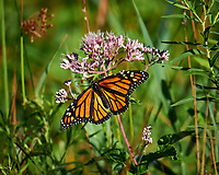 Monarch Butterfly on a Joe Pye Weed. Sourland Mountain Preserve. Image taken with a Nikon D3s camera and 105 mm f/2.8 macro lens + 2.0 TC-E III teleconverter (ISO 200, 210 mm, f/5.6, 1/800 sec).