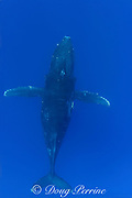 humpback whale, Megaptera novaeangliae, (female), top view, Kona, Hawaii; caption must include notice that photo was taken under NMFS research permit #587