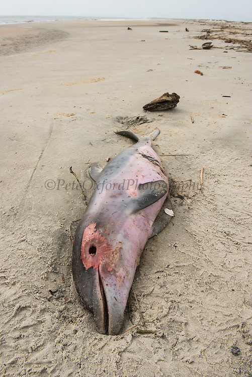 Bottlenose Dolphin (Tursiops truncatus) baby found dead and stranded on beach<br /> Little St Simon's Island, Barrier Islands, Georgia<br /> USA