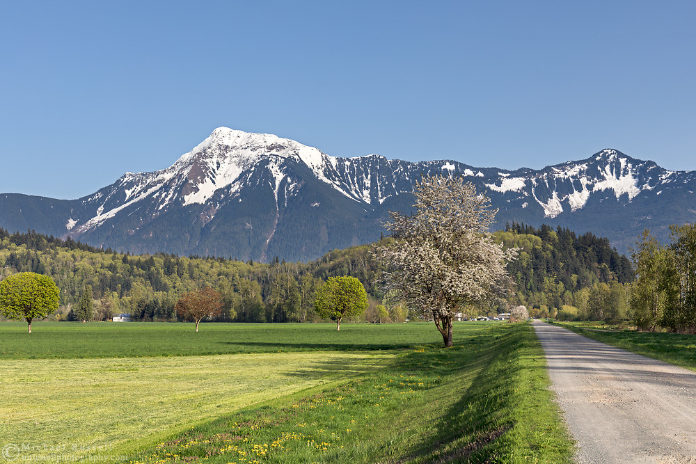 A flowering Cherry or Plum tree along a dike next to the Fraser River in Agassiz, British Columbia, Canada.  Mount Cheam, Mount Archibald (right) and Hopyard Hill are in the background.