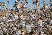 Cotton is a soft, fluffy staple fiber that grows in a boll, or protective capsule, around the seeds of cotton plants of the genus Gossypium. The fiber is almost pure cellulose. Under natural condition, the cotton balls will tend to increase the dispersion of the seeds. Photographed in Israel
