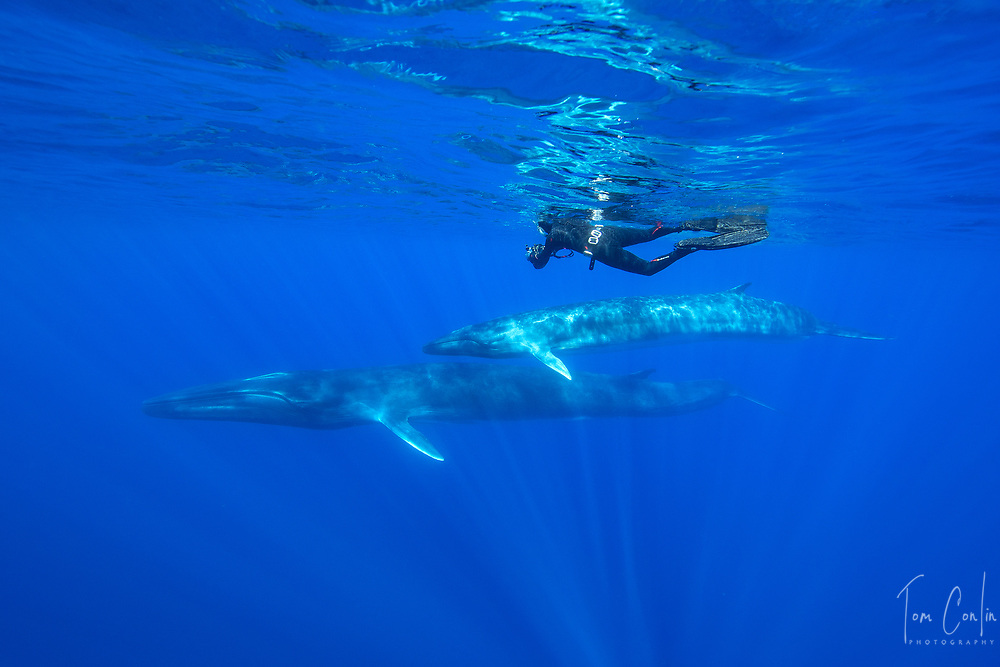 """fin whale ~ Balaenoptera physalus ~ snorkeler,<br /> Pico, Azores, Portugal ~ """"This work was performed under the authorization n.0 XX-ORAC-2018 issued by the Government, on February 22, 1018"""""""