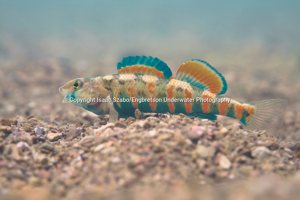 Redband Darter<br /> <br /> Isaac Szabo/Engbretson Underwater Photography