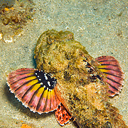 Spotted Scorpionfish most commonly inhabit reefs, but can be found in all bottom habitats in Tropical West Atlantic; picture taken St. Vincent.