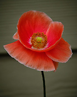 Red or Oriental Poppy flowers. Image taken with a Fuji X-T2 camera and 100-400 mm OIS lens.