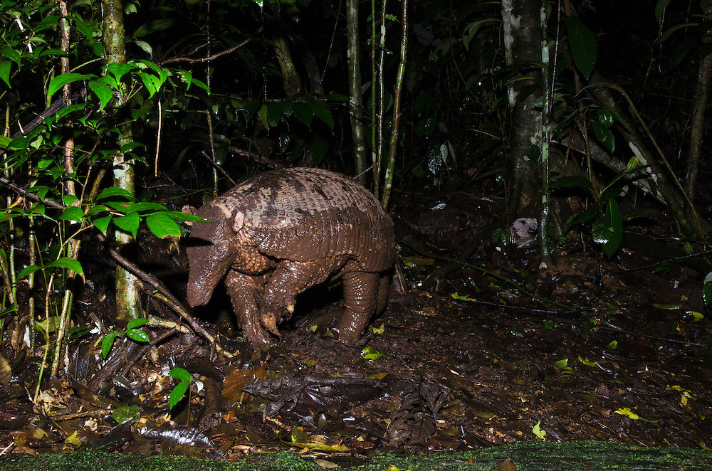 Giant Armadillo (Priodontes maximus)<br /> Yasuni National Park, Amazon Rainforest<br /> ECUADOR. South America<br /> HABITAT & RANGE: Live in burrows near water in grassland, brushland, woodland and forest habitats east of the Andes from NW Venezuela to NE Argentina.<br /> IUCN CONSERVATION STATUS: Vulnerable to extinction.