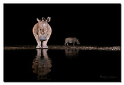 Female white rhinoceros and her cub at a pond in Zimanga Private Reserve, South Africa.