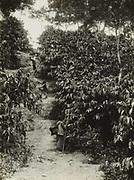 Koffietuinen in Java. 1928 - 1932