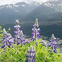 As I started on the trail from the Mount Roberts Tramway I was greeted with fields of wildflowers in mid-June. I started photographing the flowers as I headed further up the trail. As I made my way back towards the tram I found this grouping of lupine with a view of Douglas Island behind. Getting low to the flowers I found an angle which captured the flowers as well as some of the snow covered mountains.
