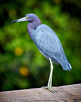 Little Blue Heron. Weedon Island Nature Preserve, Pinellas County, Florida. Image taken with a Nikon D300 camera and 80-400 mm VR lens (ISO 320, 400 mm, f/5.6, 1/500 sec)
