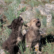 Two young gray wolf (Canis lupus) pups howling, springtime in Montana. Captive Animal