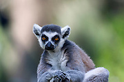 Close up portrait of a Ring-tailed Lemur (Lemur catta)