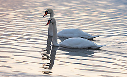 THEMENBILD - Hoeckerschwäne am Zeller See, aufgenommen am 27. Jänner 2018, Zell am See, Österreich // Mute Swans at the Lake Zell on 2018/01/27, Zell am See, Austria. EXPA Pictures © 2018, PhotoCredit: EXPA/ Stefanie Oberhauser