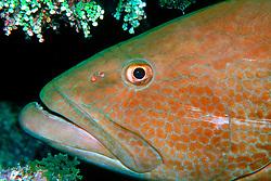 black grouper, Mycteroperca bonaci, City of Washington wreck, Key Largo, Florida Keys National Marine Sanctuary, Atlantic Ocean