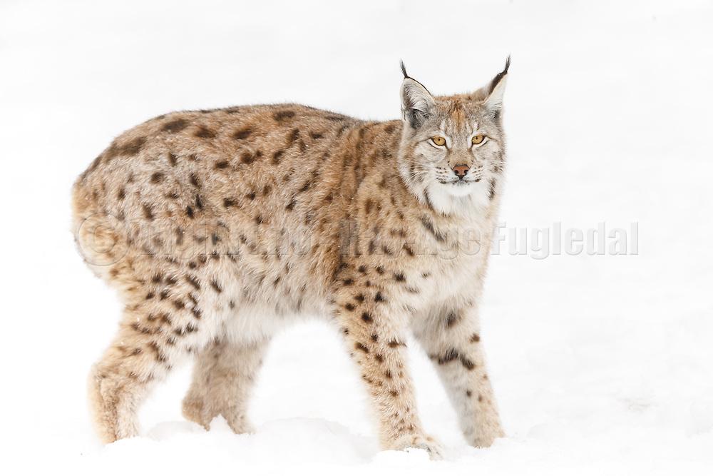 Lynx standing in the snow at Langedrag Wildlife park   Gaupe som står i snøen på Langedrag Naturpark