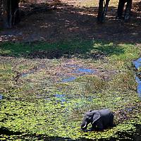 Africa, Botswana, Okavango Delta. Aerial view by helicopter safari of elephants in the Okavango Delta.
