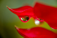 Close-up of a drop of dew suspended from the petals of a red flower in a botanical garden in Golfo Dulce, Puntarenas, Costa Rica.