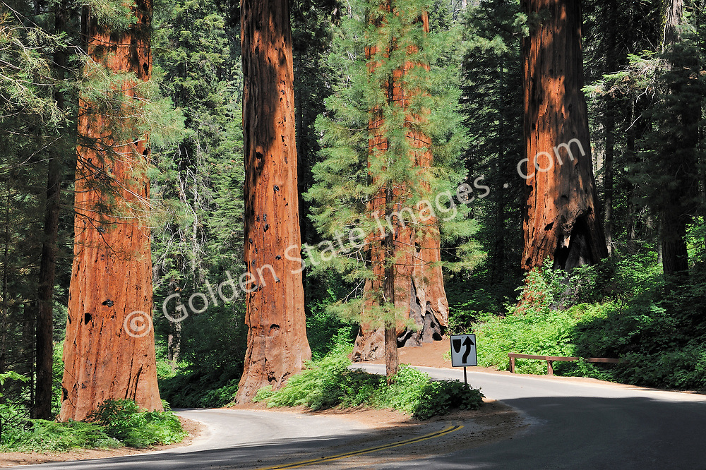 The Generals Highway passes directly through an impressive stand of Sequoias at the southern end of Sequoia and Kings Canyon Park.    <br /> <br /> Species: Sequoiadendron giganteum