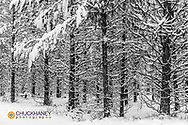 Snowy forest at Round Meadows in the Flathead National Forest, Montana USA
