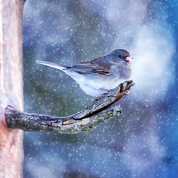 Well the Junco's are officially taking over the yard, so Winter must be in full effect