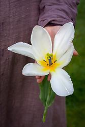 Sarah holding the huge flower of Tulipa 'Purissima'