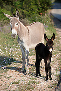 Stock photos of Young Donkey with its mother - Dalnatian mountains - Dubrovnik Croatia .<br /> <br /> Visit our CROATIA HISTORIC SITES PHOTO COLLECTIONS for more photos to download or buy as wall art prints https://funkystock.photoshelter.com/gallery-collection/Pictures-Images-of-Croatia-Photos-of-Croatian-Historic-Landmark-Sites/C0000cY_V8uDo_ls