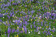 Broadleaf Lupines (Lupinus latifolius) and a few other species of wildflowers in Mount Rainier National Park in Washington State, USA.