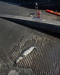 women kayakers observing Hawaiian monk seal, Monachus schauinslandi, basking at boat ramp, young male, critically endangered, Honokohau Harbor, Kona Coast, Big Island, Hawaii, Pacific Ocean, No MR