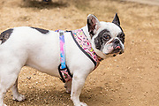 Black and White French Bull Dog Wearing a Harness