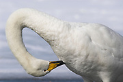 Whooper swan, Cygnus cygnus, grooming feathers, lake Kussharo-ko, Hokkaido Island, Japan, japanese, Asian, wilderness, wild, untamed, ornithology, snow, graceful, majestic, aquatic.