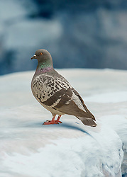The Rock Dove or Rock Pigeon is a member of the bird family Columbidae. In common usage, this bird is often simply referred to as the pigeon