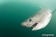 salmon shark, Lamna ditropis, Prince William Sound, Alaska, U.S.A.
