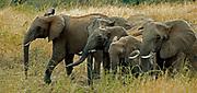 Herd of African Elephants (Loxodonta africana) from Serengeti, Tanzania.