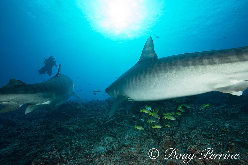 tiger sharks, Galeocerdo cuvier, approach diver, Honokohau, Kona, Big Island, Hawaii, USA ( Central Pacific Ocean ) MR 492