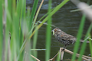 Female Red-Winged Blackbird with some food at a local nature center in Upstate NY.