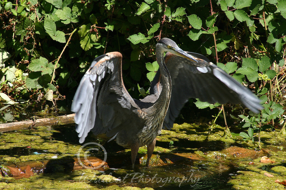 Great Blue Heron ready for take-off