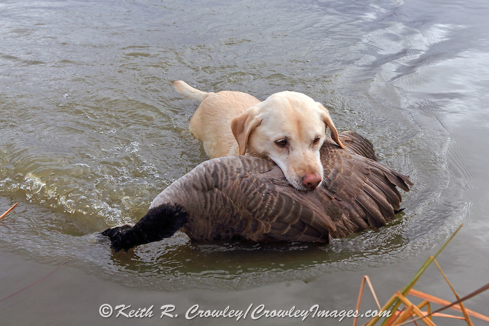 A Yellow Labrador Retriever brings back a Canada goose during a Manitoba hunt.