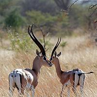 Africa, Kenya, Meru. Pair of Grant's Gazelle.