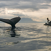 """It was always good to have Fred Sharpe and his fellow whale researchers around in their Alaska Whale Foundation boat, """"the Evolution"""". We both had a lot of mutual respect for each other, and very importantly to me he shared the same respect for the whales, and always operated in a very non-intrusive manner. I was so used to being out there camping alone, but it was always nice to enjoy their company, and catch up on some jovial socializing and fine dining onboard his boat.<br /> Dr. Fred Sharpe started studying the behaviour of humpback whales in Southeast Alaska from a small skiff around about the same time that I started photographing them from a kayak. While I became quite obsessed with photographing the incredible cooperative bubble net feeding strategy of the whales, Fred conducted ground-breaking research into that behaviour and established such things as the task specialisation of individual members within a feeding group, whereby the same whale blows the bubbles and the same one makes the piercing feeding call. he is now stationed at the Five Finger Lighthouse, armed with a wireless hydrophone that AWF hopes will allow them to record and broadcast live, the diverse vocalizations made by humpback whales in Southeast Alaska."""