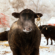 A young bull stands his ground while his breath is visible in the cold air on a snowy day at the Robert Elliott and Sons Cattle Company in Adams, Tennessee. Nathan Lambrecht/Journal Communications
